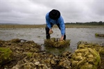 Rising ocean acidity off Washington state threatens shellfish, panel says