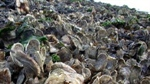 Study shows oyster reefs buffer acidification of Chesapeake Bay