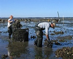 Northwest Oyster Die-offs Show Ocean Acidification Has Arrived