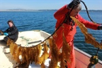 Studies testing kelp to ease effects of ocean acidification