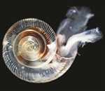NOAA research links human-caused CO2 emissions to dissolving sea snail shells off U.S. West Coast