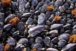 Ocean Acidification means major changes for California mussels
