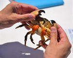 Stone Crab Fishery Could be Challenged by Ocean Acidification, Study Suggest