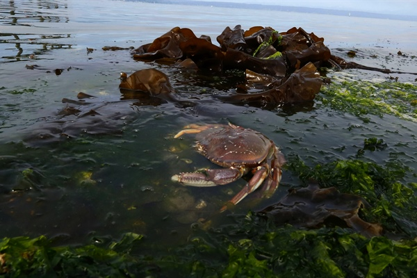 Study predicts decline in Dungeness crab from ocean acidification